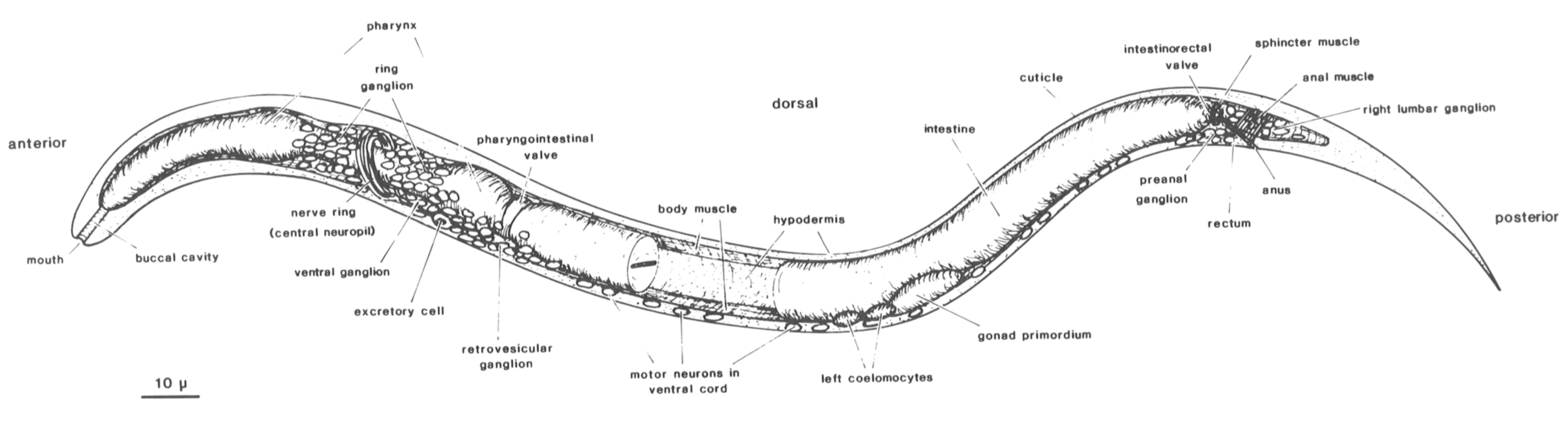 Anatomy of nematodes