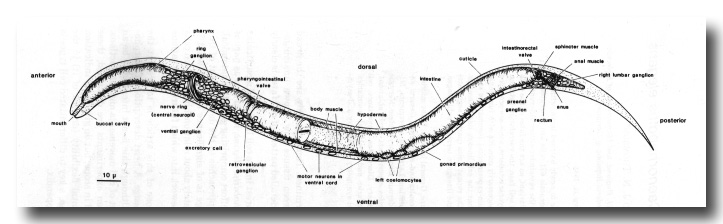 The Embryonic Cell Lineage Of The Nematode Caenorhabditis Elegans