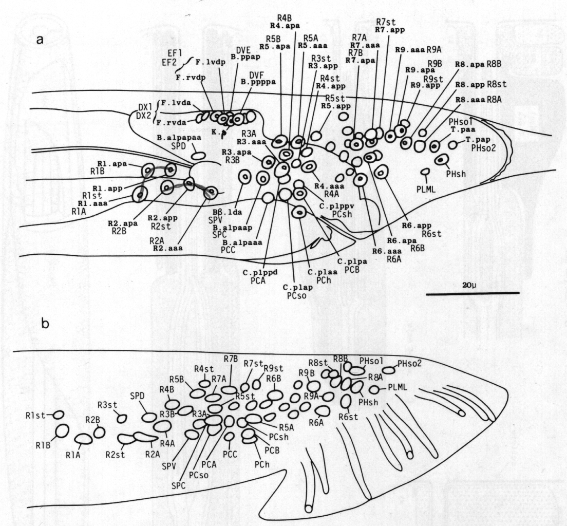 The Caenorhabditis Elegans Male Postembryonic Development Of Aaa C Wire Color Diagram Typical Single Line Unit Nongonadal Structures