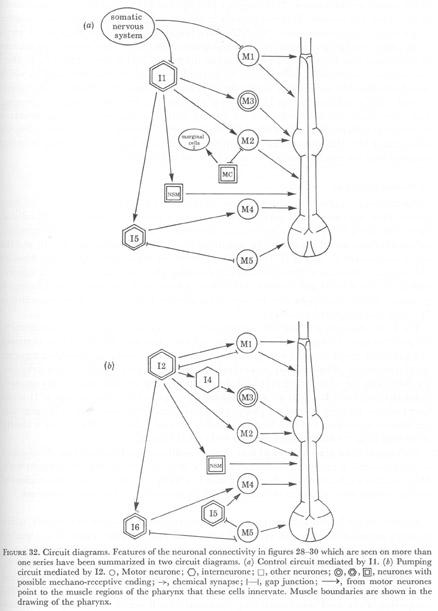 The Pharynx Of Caenorhabditis Elegans Albertson 1975