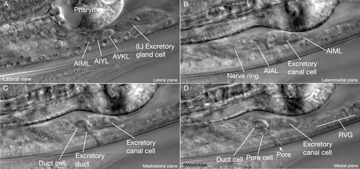 excretory system images. ExcFIG 2 Excretory system with