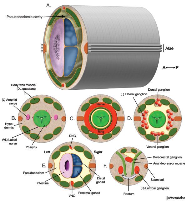 hermafrodit nematod uman)