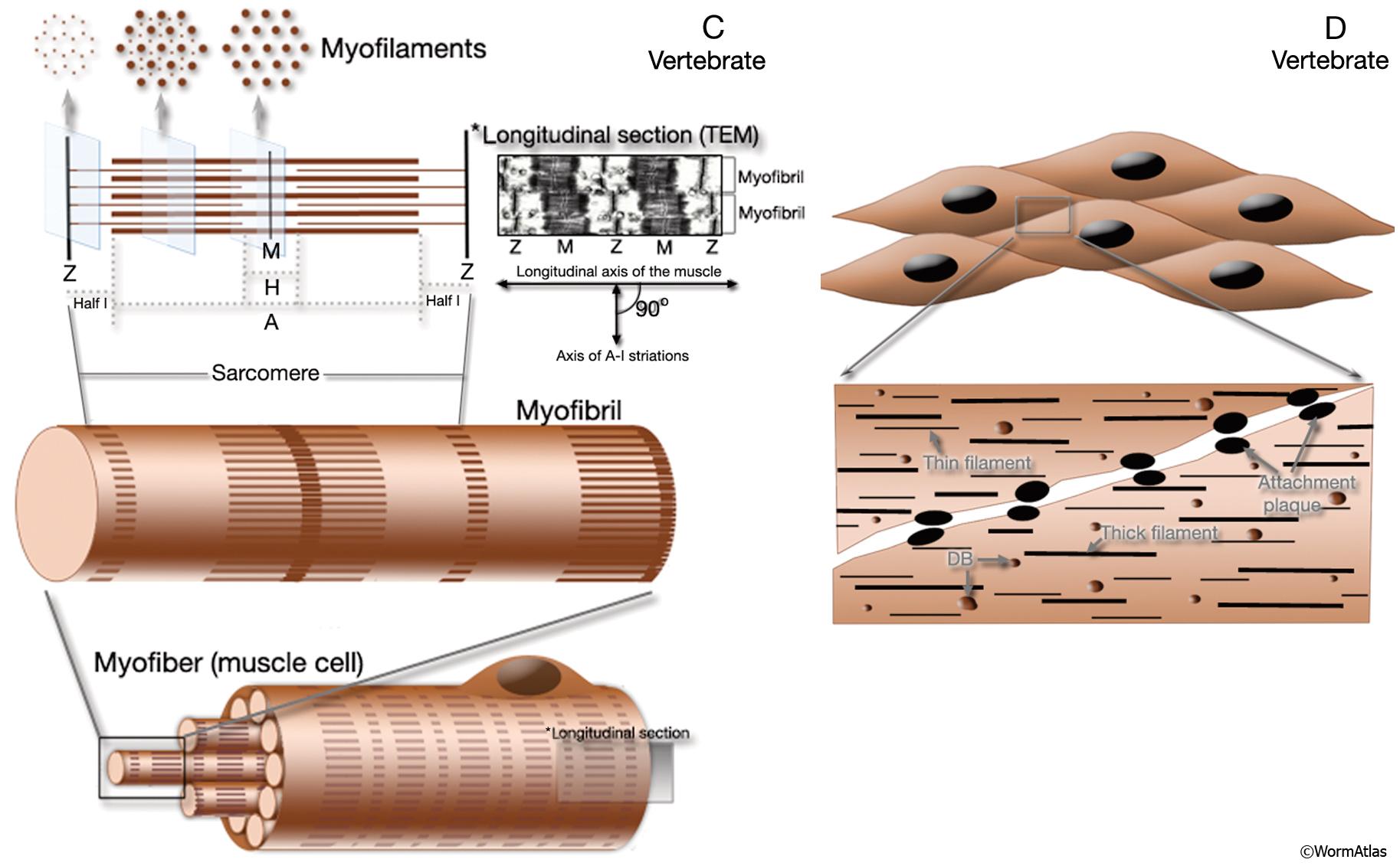Vertebrate Somatic Muscle is