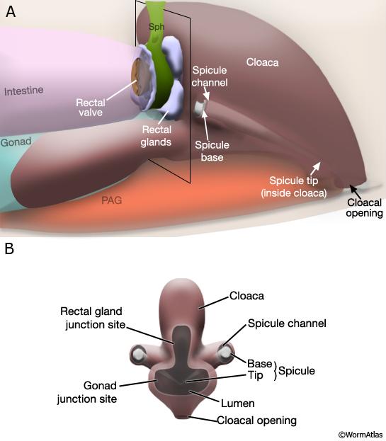 anal sphincter muscles diagram