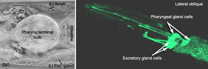 ExcMOVIE 1 2-D reconstruction of excretory gland cells