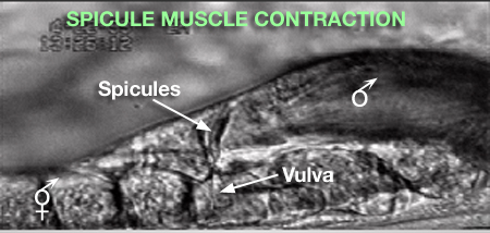 MaleMusMOVIE 2 Spicule muscle contraction